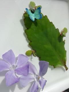 育ってきたマザーリーフ、とまっている蝶々はフェイクです。